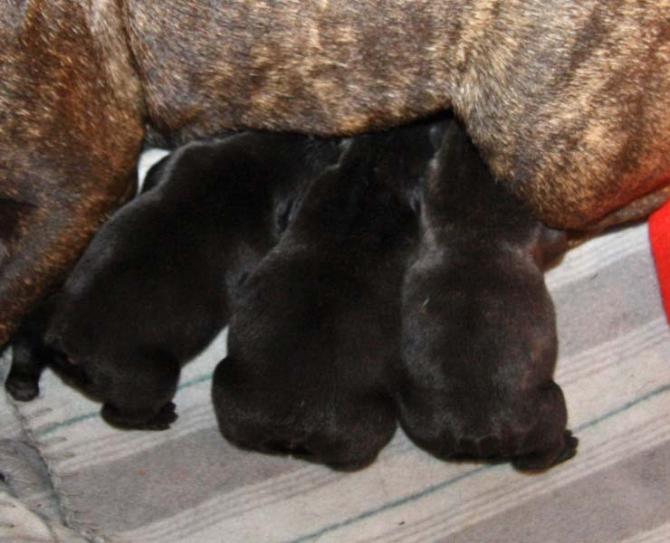 Girl Boy Girl Molle Millas puppies 1 day old